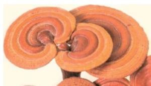 Ganoderma Lucidum Mushrooms